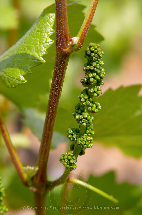 Grape buds. Pinot Noir. Domaine Henri Bourgeois, Chavignol, Sancerre, Loire, France