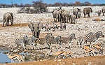 African bush elephants (Loxodonta africana), Etosha National Park, Namibia, Springbok (Antidorcas marsupialis), gemsbok (Oryx gazella), Burchell's zebra (Equus quagga burchelli)<br /> <br /> Canon EOS 5D Mark IV, EF200-400mm f/4L IS USM lens, f/20 for 1/1600 second, ISO 2500
