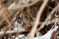 BOBCAT YOUNGSTER IN A TREE