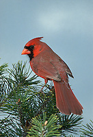 Northern Cardinal, Cardinalis cardinalis, male, perched on Pine.