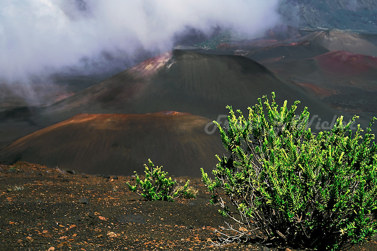 Silverswords and the Kupaoa plant have adapted and survived in the barren wilderness landscape of the crater in HALEAKALA NATIONAL PARK on Maui in Hawaii