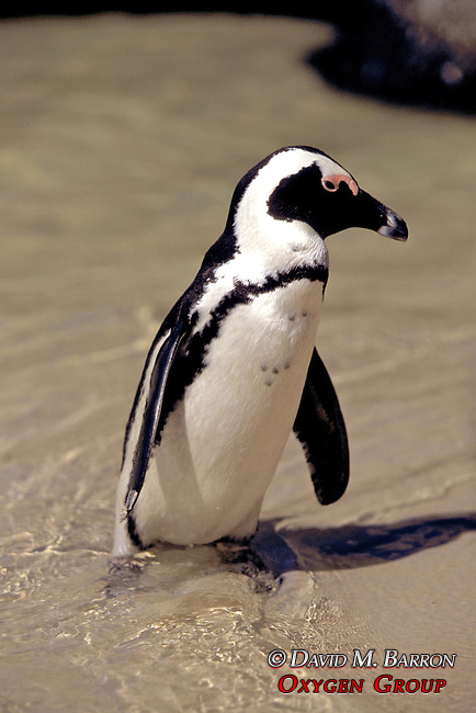African Penguin At Waters Edge