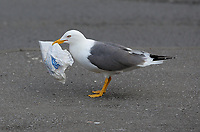 2017 05 02 Seagull with Greggs paper bag in its beak, Swansea, UK