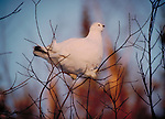 Willow ptarmigan in tree