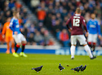 01.12.2019 Rangers v Hearts: The Rangers pigeons are back