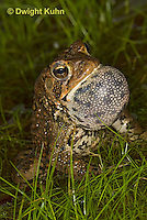 FR11-542z  American Toad Male singing for mate, Bufo americanus or Anaxyrus americanus