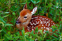 4-week old white tailed deer fawn lying in the grass