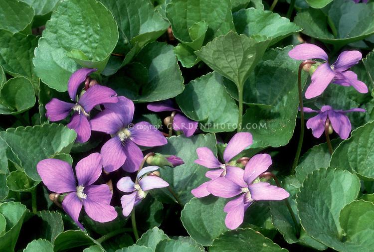 Viola odorata, Common Violets in bloom