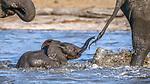 African elephants  enjoy a cooling waterhole in Kenya's Samburu National Reserve.