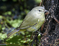 First-winter orange -crowned warbler