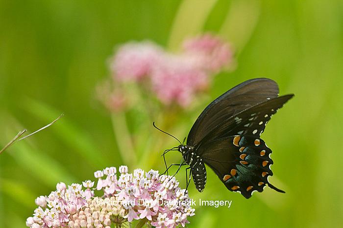 03029-01313 Spicebush Swallowtail butterfly (Papilio troilus) on Swamp Milkweed (Asclepias incarnata) Marion Co., IL