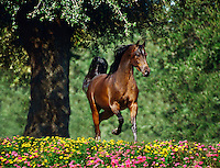 Arabian stallion trots through wildflowers.