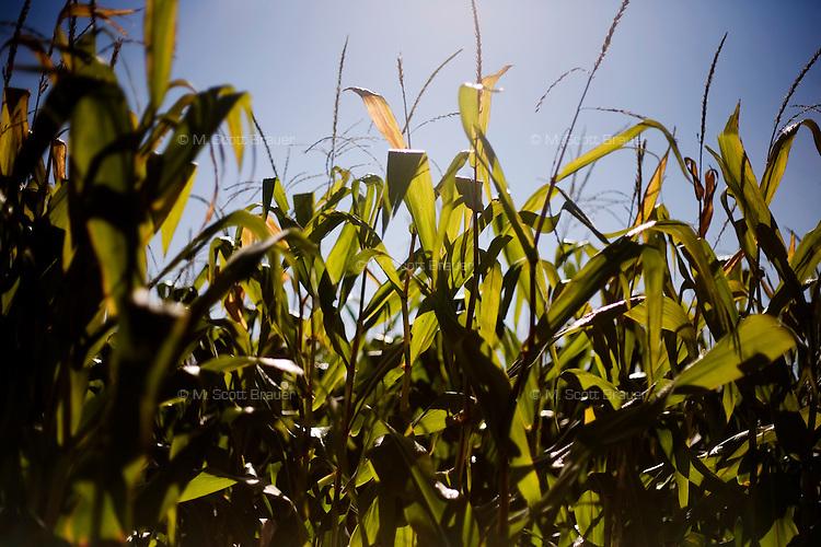 Corn grows in a field in rural central Iowa, USA.