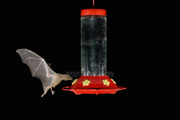 Lesser Long-nosed Bat, Leptonycteris curasoae, adult in flight at night feeding on Hummingbird feeder,Tucson, Arizona, USA, September 2006