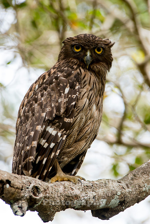 Brown fish owl (Bubo zeylonensis or Ketupa zeylonensis) - This species is a part of the family known as typical owls, Strigidae, which contains most living owls. It inhabits the warm subtropical and humid tropical parts of continental Asia and some offshore islands. Wilpattu National Park - Sri Lanka.