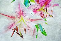Tiger lily. Oregon