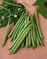 Agriculture - Green beans on stone; Rhapsody variety, studio.