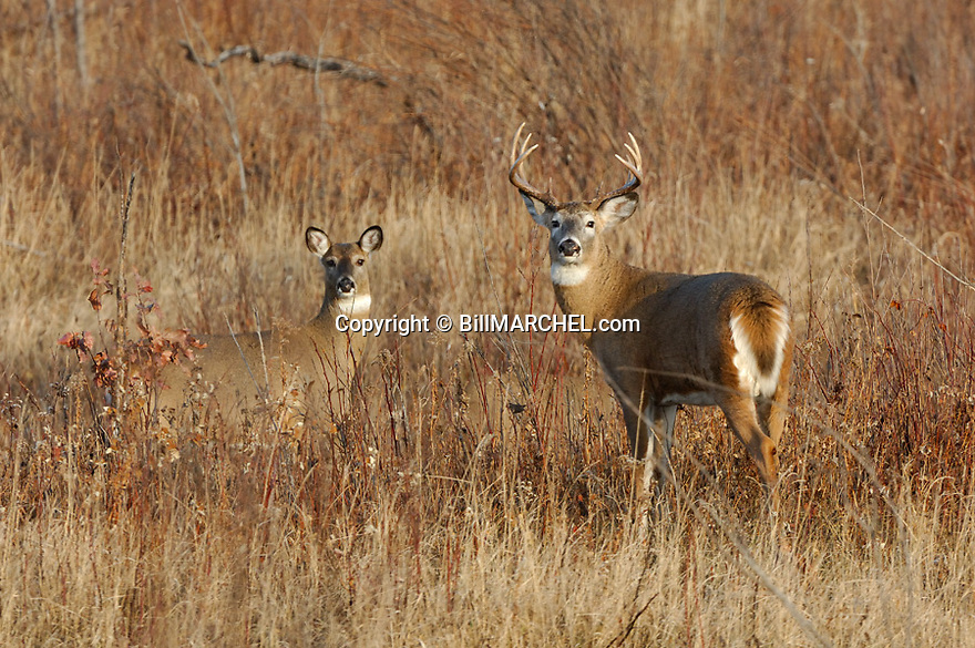 00274-324.11 White-tailed Deer Buck and does are in meadow during rut.  Hunt, breed, clearcut, browse, feed.  H2E1