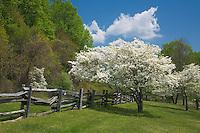 Blue Ridge Parkway, VA<br /> Flowering dogwood (Cornus florida) and split rail fence in early spring, Peaks of Otter visitor center