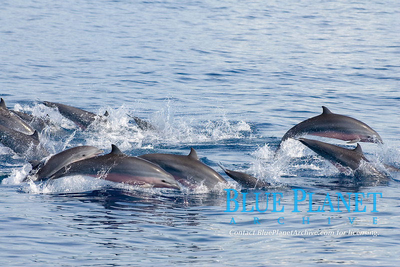 Fraser's dolphin (Lagenodelphis hosei) Eastern Caribbean Tightly bunched Fraser's dolphins traveling at speed.