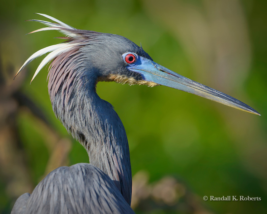 Tri-colored Heron, Osceola County, Florida