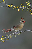 Northern Cardinal, Cardinalis cardinalis, female on blooming Huisache (Acacia farnesiana), Starr County, Rio Grande Valley, Texas, USA, March 2002