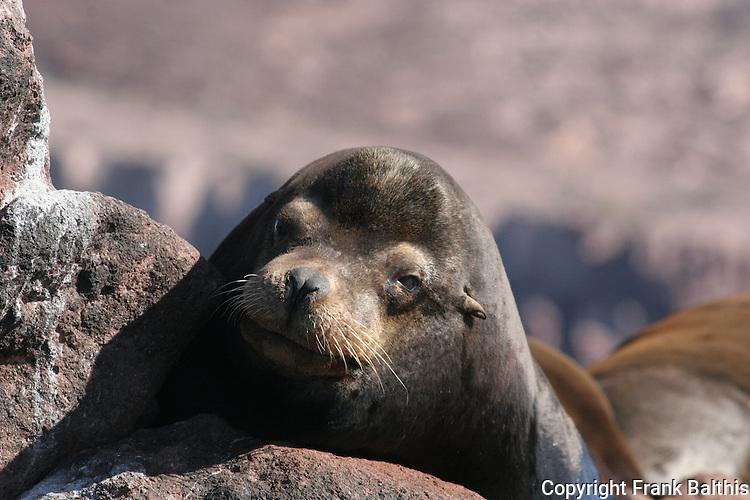 Bull CA sea lion