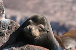 Bull CA sea lion