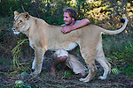 Botswana, Kalahari, Valentin Gruener with the lioness he raised on a private reserve from a small dying cub to a healthy adult