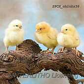 Xavier, EASTER, OSTERN, PASCUA, photos+++++,SPCHCHICKS38,#e#, EVERYDAY ,chicken