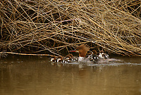Adult female Common Merganser (Mergus merganser) leading young chicks. Malheur County, Oregon. June.