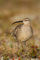Adult Whimbrel (Numenius phaeopus) on the breeding grounds. Seward Peninsula, Alaska. May.