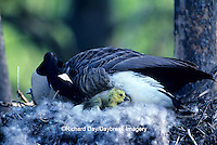 00748-01511 Canada goose (Branta canadensis) sitting on nest with newly hatched goslings   IL