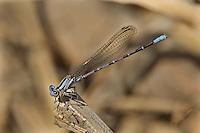 338610004 a wild gymnomorph female vivid dancer argia vivida perches on a dead branch along piru creek in los angeles couny california