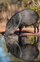 650520268 a wild javelina or collared peccary dicolyties tajacu drinks from a pond on beto gutierrez santa clara ranch hidalgo county lower rio grande valley texas united states