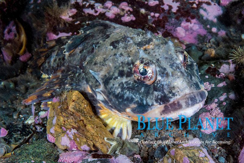 Shorthorn Sculpin, Myoxocephalus scorpius, Deer Island, New Brunswick, Canada, Atlantic Ocean
