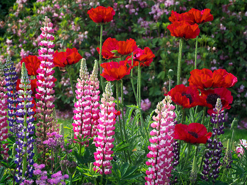 Lupine and poppies at Schreiner's  iris Gardens. Brooks, Oregon