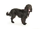 Cocker Spaniel, Black, Standing, Studio, White Background