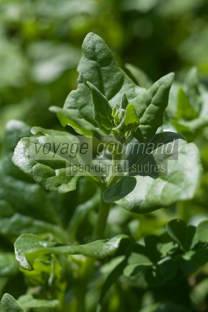 Europe/France/Aquitaine/40/Landes/ Lencouacq:  Tetragone  dans le Jardin Potager de la Ferme Auberge du Jardin de Violette chez Violette Valés - agricultrice et restauratrice-La tetragone est utilisée en salade