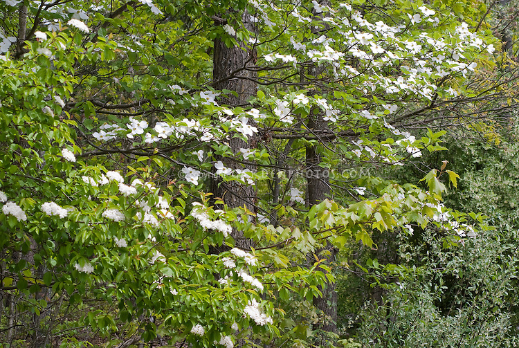 Dogwood, American native shrub tree Cornus florida in flower with Sambucus canadensis shrub