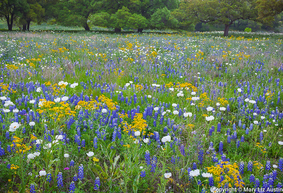 Gillespie County, Texas Hill Country: A field of Texas bluebonnets (Lupinus texensis) and bluestem prickly poppies (Argemone polyanthemos) in the Hill Country