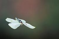 Zitronenfalter, Flug, fliegend, Zitronen-Falter, Gonepteryx rhamni, brimstone, brimstone butterfly, flight, flying, Le Citron
