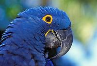 Hyacinth Macaw (Anodorhynchus hyacinthinus). Captive. Brazil & Bolivia.