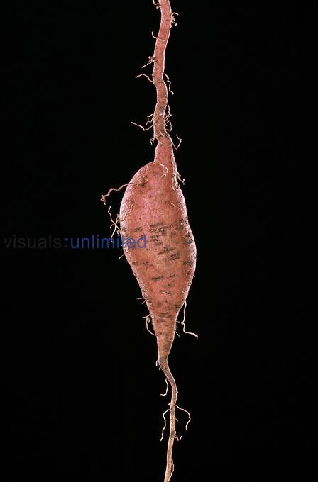 Sweet Potato.