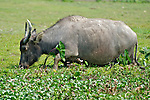 Hong Kong  Once used as draft animals in rice paddies water buffalo now roam the former paddies as feral domestic wildlife, often accompanied by cattle egrets. The buffalo wander the village of Pui O on Lantau Island freely, grazing wherever they can find vegetation.