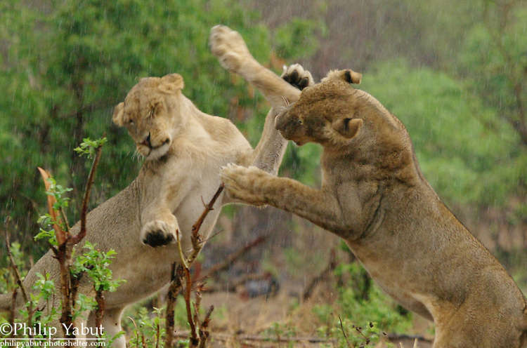 Young lions play-fight in the rain at Chobe National Park, Botswana.