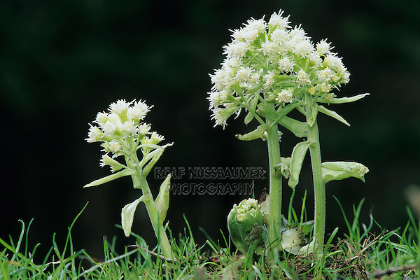 White Butterbur, Petasites albus, blooming, Oberaegeri, Switzerland, April 1995