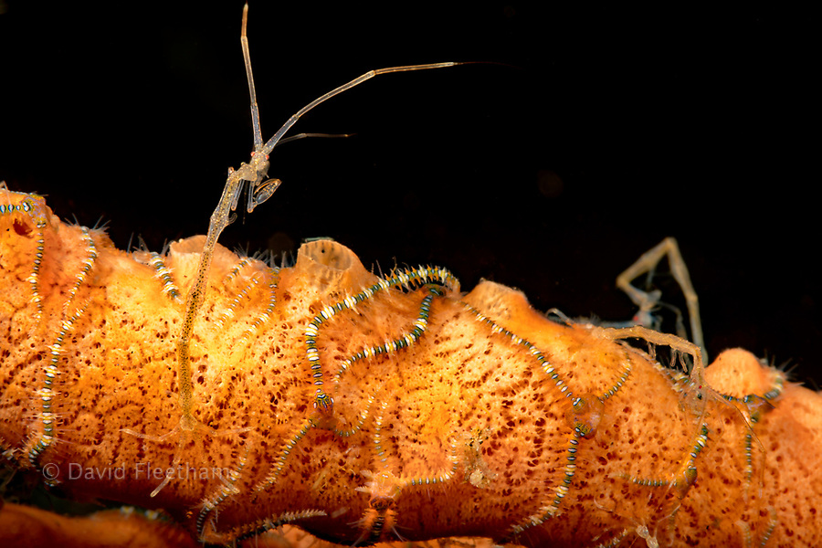 This is a close-up of a skeleton shrimp, Caprellide sp., and brittle seastars on a sponge, Dumaguete, Philippines, Asia.