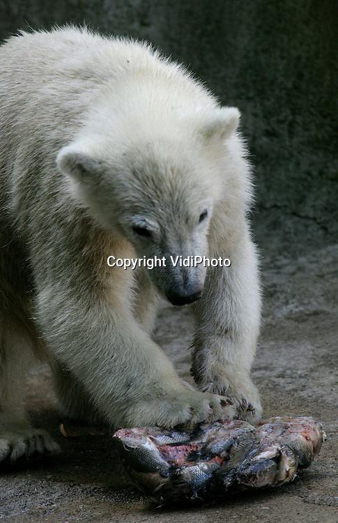 Foto: VidiPhoto..RHENEN - Tijdens de hitte krijgen de jonge ijsbeertjes van Ouwehands Dierenpark in Rhenen hun voedsel in bevroren vorm. Behalve als verkoeling, dient het ijsblok met bevroren vissen ook als afleiding. Het duurt namelijk wel enige tijd voordat de vissen uit het ijs gepeuterd zijn.