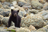 Black bear cub, Ursus americanus, Tofino, Clayoquot sound, British Columbia, Canada, North America